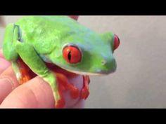 Agalychnis callydrias rana verde ojos rojos - YouTube