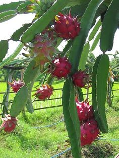 Pitaya or Dragon Fruits