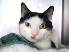 Moo TO BE DESTROYED 12/11/16*** Super sweet tomcat Sweet cat, 2 years old, on death list today! If you would like to foster or adopt and can't make it to the shelter, please write an email NOW to the Urgent Help Desk at Helpcats@Urgentpodr.org Their experienced volunteers will assist you one-on-one with rescues and the application process. Transport can be arranged by rescues to the homes of approved fosters or adopters within 3-4 hours of New York City