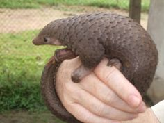tree-pangolin-by-valerius-tygart  Applaud the unanimous decision to completely ban international trade on all species of a mammal that has been devastated by poaching.