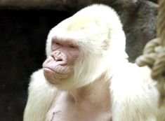 Snowflake died in Barcelona's zoo early November 24 after a long struggle with skin cancer. Albino Gorilla, Borneo Orangutan, Melanistic Animals, Genetics Traits, Albinism, Wildlife, Amazing, Awesome, Pets