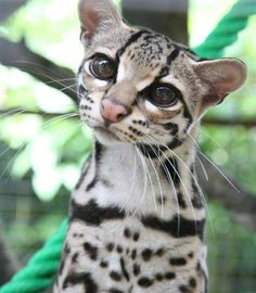 Tropical Wildlife The Margay (Leopardus wiedii) is a small spotted cat (up to 9 lbs) that roams the Rainforests from Mexico to Argentina. A skillful climber, it is one of only two cat species with the ankle flexibility necessary to climb head-first down trees. (the other being the Clouded Leopard). Photographer Unknown Source: Pinterest