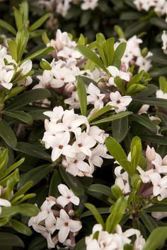 Eternal Fragrance Daphne - Monrovia - Eternal Fragrance Daphne-2-3' tall full sun to part shade-early bloomer, winter green leaves