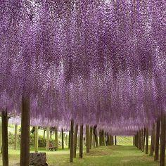 Fairytale walkway in Kawachi Fuji Gardens