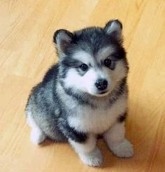 pomsky. Ok......IF I was going to get a small dog that was not adopted from the SPCA or Humane Society...I would want this kind! How adorable!!