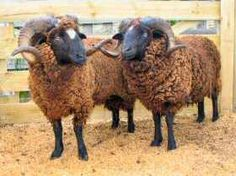 New Zealand Arapawa Sheep