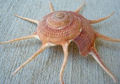 1 Natural Yoka Star Seashell 253 by seashellsupply on Etsy