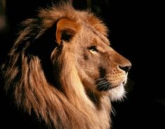 Picture Of A Lion Head