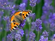 Have you taken part in the Big #ButterflyCount yet?