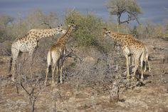 Le eleganti giraffe al Kruger National Park