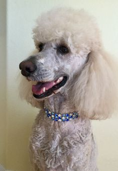 28 Best Poodle Weddings Images Poodle White Puppies Dog