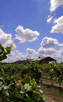 The lower Illinois River's earth and climate are ideal for production of grapes, apples and peaches - making it ideal for vineyards. Photo taken at the Mary Michelle Winery, Carrollton IL