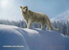 Panthera leo Spelaea or Eurasian Lion,a sub species of lions that are now extinct. They were also known as the Cave Lion's.