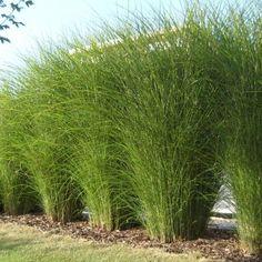 Garden Yard Ideas, Terrace Garden, Garden Plants, Trees And Shrubs, Trees To Plant, Farm Gardens, Outdoor Gardens, Miscanthus Sinensis Gracillimus, Landscape Design
