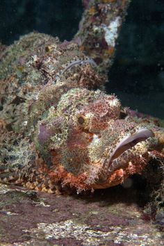 Scorpion Fish, Mabul, Malaysia
