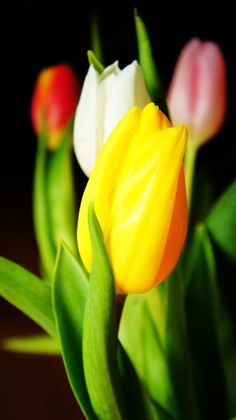 Colorful Tulips on Black Background