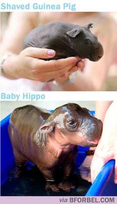 b for bel: Fun Fact Fridays: Shaved Guinea Pigs look like Hippos