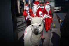 Un gruppo di venditori vestiti da Babbo Natale con un alpaca in giro per le strade di Pechino, Cina (WANG ZHAO/AFP/Getty Images) (Christmas Edition) - Il Post