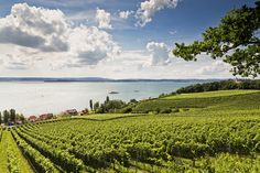Vineyard, Lake of Constance, Germany.