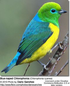 Blue-naped Chlorophonia (Chlorophonia cyanea) is a colorful South American species of bird in the family Fringillidae. Survival Blanket, Sea Salt And Pepper, Jolie Photo, Pretty Birds, Little Birds, Bird Species, Parrot, The Incredibles, Feathers