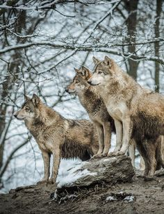 funkysafari:  Canadian timber wolf pack  by ラルフ - Ralf