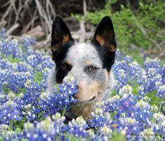 Australian Cattle dog smelling flowers