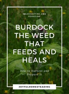 A burdock plant is t