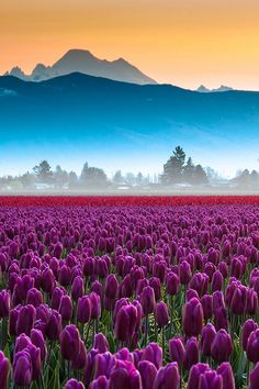 Skagit Valley Tulips and Mt Baker 2011 by idiophonics