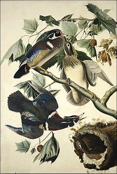 Shopping john james audubon wood duck painting & john james audubon wood duck paintings artworks at discount inc oil paintings, posters, canvas prints, more art john james audubon wood duck painting on Sale oil painting gallery. Science Illustration, Bird Illustration, Illustrations, Botanical Illustration, Oil Painting Gallery, Audubon Birds, Birds Of America, John James Audubon, Bird Pictures