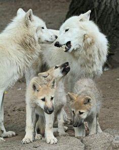 Beautiful wolf family