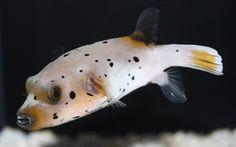 I finally own a Dogface Puffer. I love his personality he is such a cutie and I get to hand feed him :)