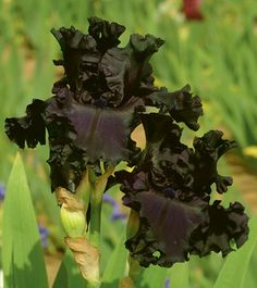 "All Night Long Iris-Type: Tall Bearded (TB) Style: Self Height: 31"" Color: Black Originator: Duncan, Roger Year: 2005 Bloom Season: Late Fragrant: Yes Rebloom: No Awards: HM '07, AM '09 The cross of Hollywood Nights X Black Tie Affair brought forth this aptly named dark purple-black self. The intensity of this purple-black color and the vibrancy of its undulating ruffles make a garden presence.  A slight sweet fragrance"