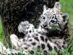 Leopon cub :)