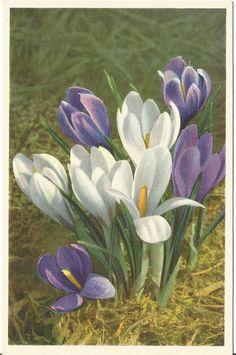 Crocus - vintage postcard, 1940