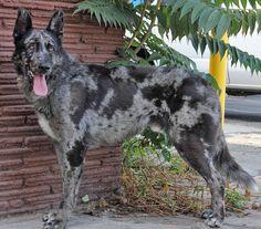 Insane! Merle German shepherd in rescue. Such a beautiful dog.