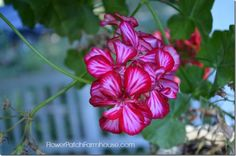 1000 images about overwintering plants on pinterest overwintering elephant ears and plants - Overwintering geraniums tips ...