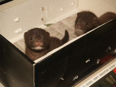 Cute surprise! Orphaned baby minks.  What, were you expecting shoes?