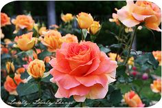 My favorites have always been peach roses, so hard to find a good, true peach rose