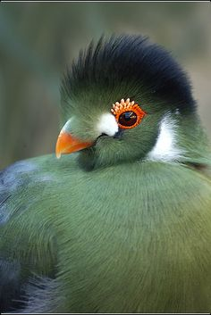 03-0159a White Cheeked Turaco copy
