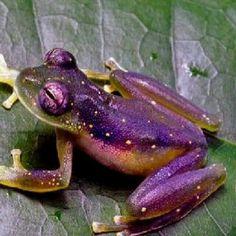 Pretty purple frog,