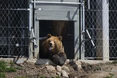 Meimo schaut aus dem Innengehege raus Brown Bear, Animals, Baby Cubs, Arosa, Vet Office, Animal Welfare, Animales, Animaux, Animal