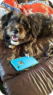 Woodbridge, VA - Standard Schnauzer/Yorkie, Yorkshire Terrier Mix. Meet Sadie, a puppy for adoption. http://www.adoptapet.com/pet/17997386-woodbridge-virginia-standard-schnauzer-mix