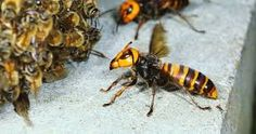The Asian giant hornet is like a modern winged T. rex, decapitating honey bees dozens at a time. Hornet, Survival, Creatures, Interesting Stuff, Hugs, Insects, Patio, Mood, Group