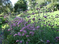 Tall Verbena (Verbena bonariensis)   The flowers are held up to 6 feet above the ground.  The stems are thin and the foliage sparse so that can be planted even in the front of the border, easily showing what's behind it, and bringing another level to any planting scheme