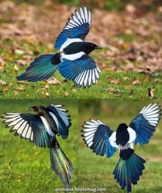Sun shining on the multi-coloured wings of a magpie. Magpies are part of the crow family and are considered one of the most intelligent animals in the world.They are the only non-mammals able to recognize themselves when put in front of a. Animals Of The World, Animals And Pets, Cute Animals, Love Birds, Beautiful Birds, Magpie Tattoo, Bird Wings, Exotic Birds, Bird Feathers