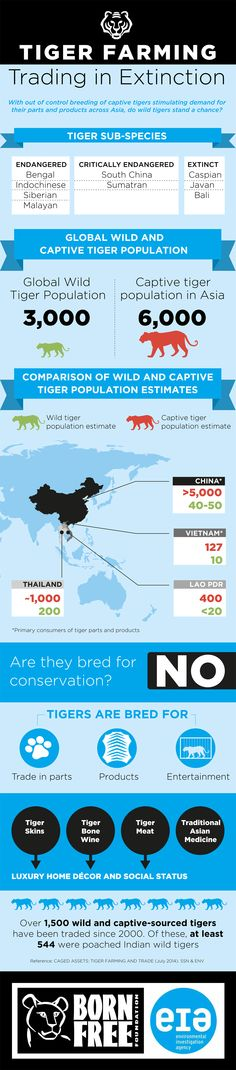 A damning new report finds that there are double the amount of #tigers found in Asian 'Tiger Farms', than can be found in the wild. In these farms animals can be kept in cramped unnatural conditions, with row upon row of cages filled with pacing malnourished tigers. These notorious establishments are often open to the public, with tigers displayed in entertainment shows. Read the full report and see the full size #infographic here: http://bit.ly/tiger-farming #globaltigerday #worldtigerday