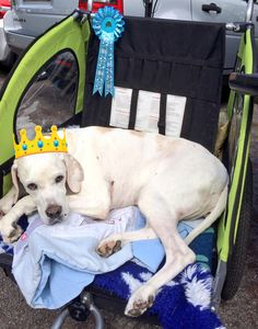 Pointer princess Portia in her carriage