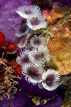 Because they reproduce asexually social feather duster worms [Bispira brunnea] are usually found as pictured here in clusters. Underwater Creatures, Underwater Life, Ocean Creatures, Underwater Photos, Fauna Marina, Beautiful Sea Creatures, Life Under The Sea, Beneath The Sea, Sea Anemone