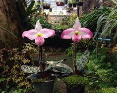 Slipper-orchid: Paphiopedilum sanderianum.