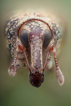 Curculionid beetle macro